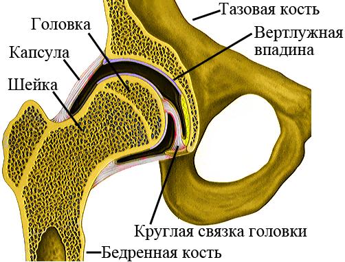 Строение правого тазобедренного сустава