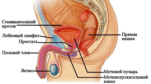 Фото полового члена под микроскопом — img 8