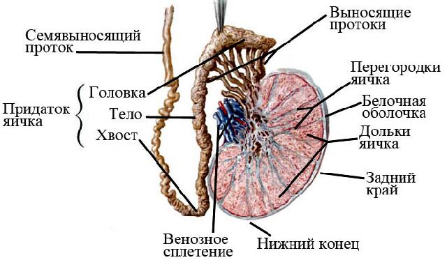 stimulyatsiya-spermatogeneza-i-funktsii-pridatochnih-polovih-zhelez