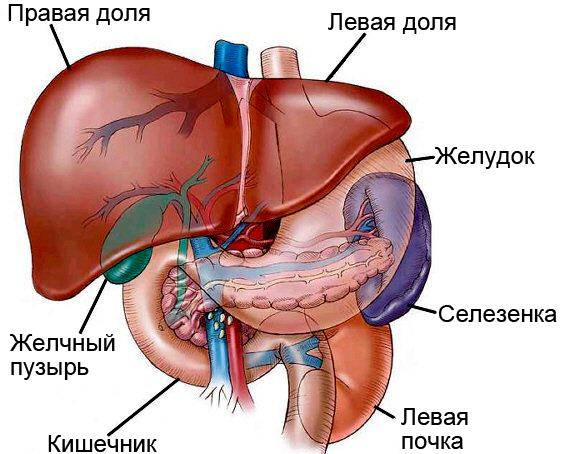 mozhno-li-lechit-pechen-bobrovoy-struey